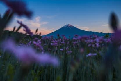 Fujisan, Berg in Japan. Im Vordergrund steht ein Feld aus lila Blumen. Im Hintergrund der Berg Fuji in Japan bei Abendlicht. Der Himmel ist blau und einige weniger Wolken werden von der Abendsonne rosarot angestrahlt. Landschaftsfotografie.